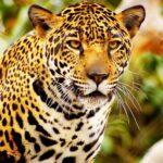 Jaguares en peligro de extinción en la península maya.