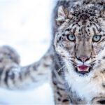Leopardo de las Nieves escapa de la extinción.