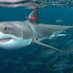 ¡Sorpresa! tiburón blanco hace frente a pescadores deportivos.