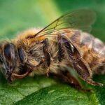 Selva amazónica: cementerio de miles de abejas.