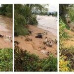 Hanna: Ganado es arrastrado en los afluentes del Río Conchal, en Nayarit.