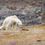 Especialistas advierten: osos polares se extinguirán a final de siglo XXI.