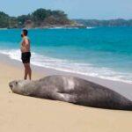 """Conoce a """"Panchito"""", el elefante marino varado en playas nayaritas."""