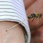 En la toxina de las abejas, podría estar la cura contra virus y bacterias.