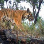Día Internacional del Tigre: Tailandia celebra el avistamiento de un ejemplar en libertad.