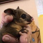 Video viral: una zarigüeya australiana que vive en el techo de una oficina se asoma para saludar.