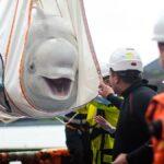 Dos ballenas Beluga regresan al océano después de diez años en Rusia y China.