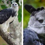 Conoce al ave más grande y majestuosa del mundo: el Águila Arpía.
