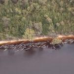 Casi 500 ballenas piloto quedan varadas en Australia, 380 no sobrevivieron.