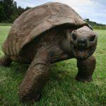 Conoce a Jonathan, el animal más viejo del mundo.