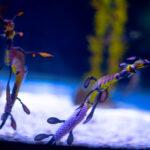 ¡Qué alegría! Nacen 24 ejemplares de dragones de mar en cautiverio.