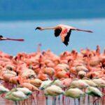 Retornan dos millones de flamencos al Lago Nakuru: son protagonistas de un bello espectáculo natural.