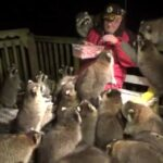 Alimenta a una manada de mapaches por deseos de su difunta esposa.