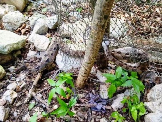Mujer descubrió a una boa que intentó entrar a su casa. La serpiente intentó entrar a escondidas a su casa en Kinchil, Yucatán, México.