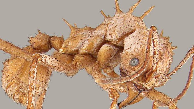 hormigas con armadura