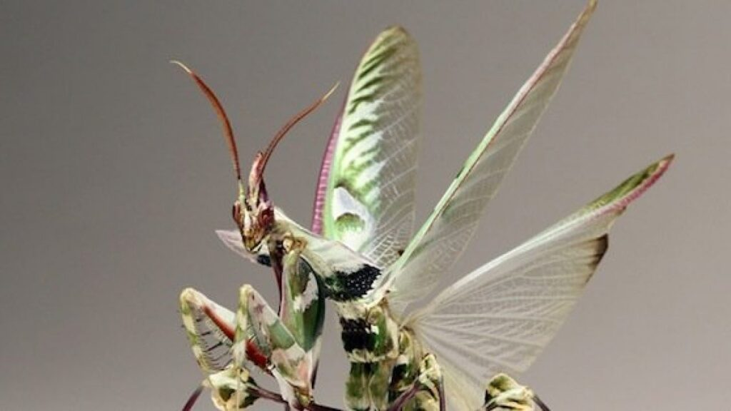 idolomantis nativa