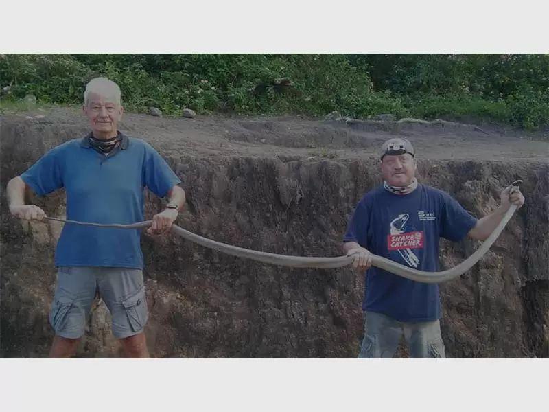 Mamba negra, enorme serpiente venenosa es rescatada.