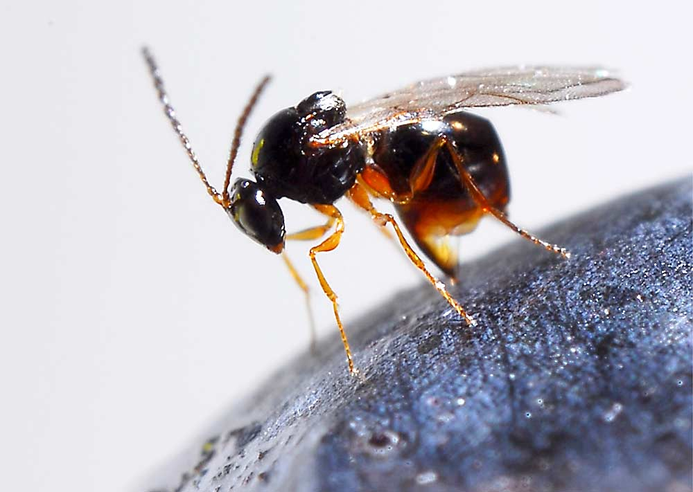 avispas parasitoides
