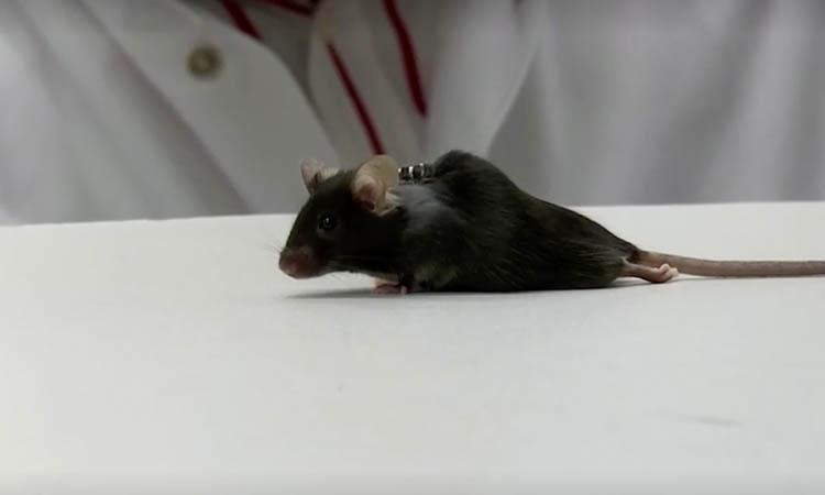 ratones con parálisis