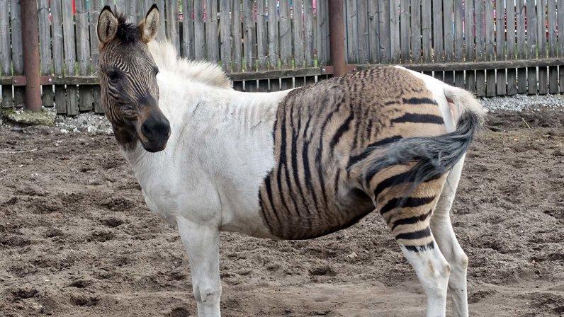 Cebrallo: es un caballo, pero también es una cebra.