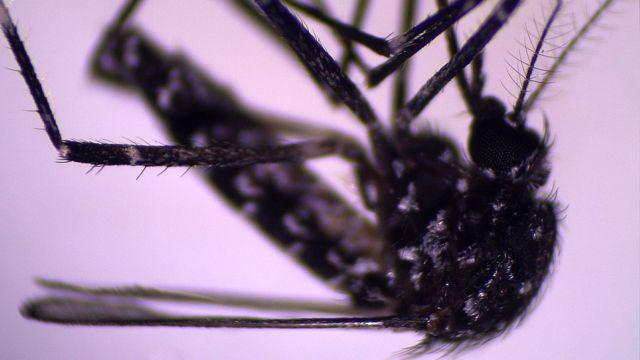 Aedes vittatus