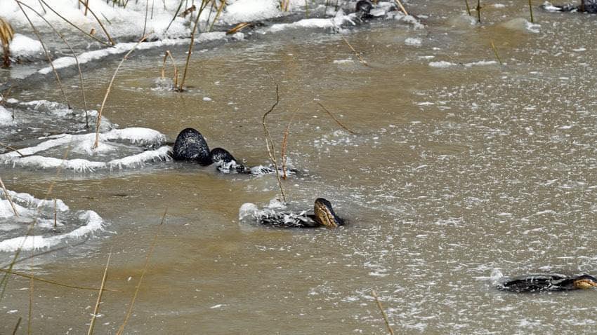 Caimanes en Oklahoma se convierten en paletas heladas por ola de frío.