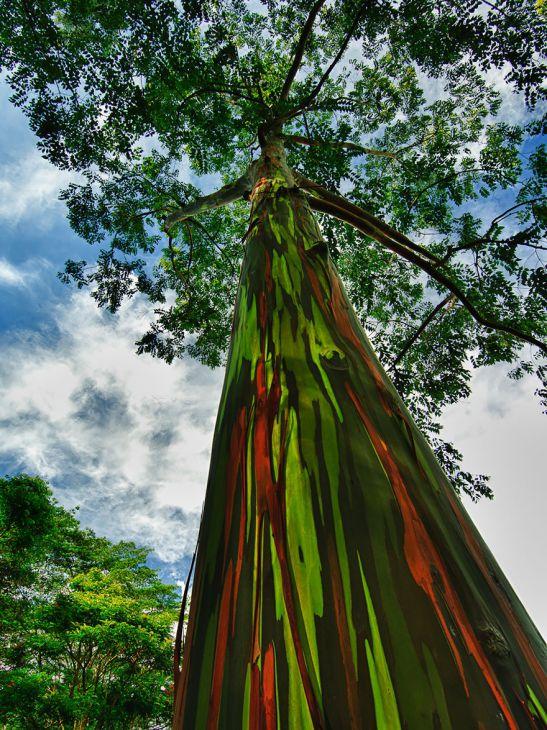 árbol arcoíris