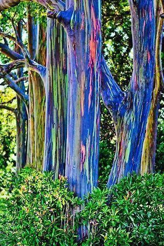 eucalipto arcoíris