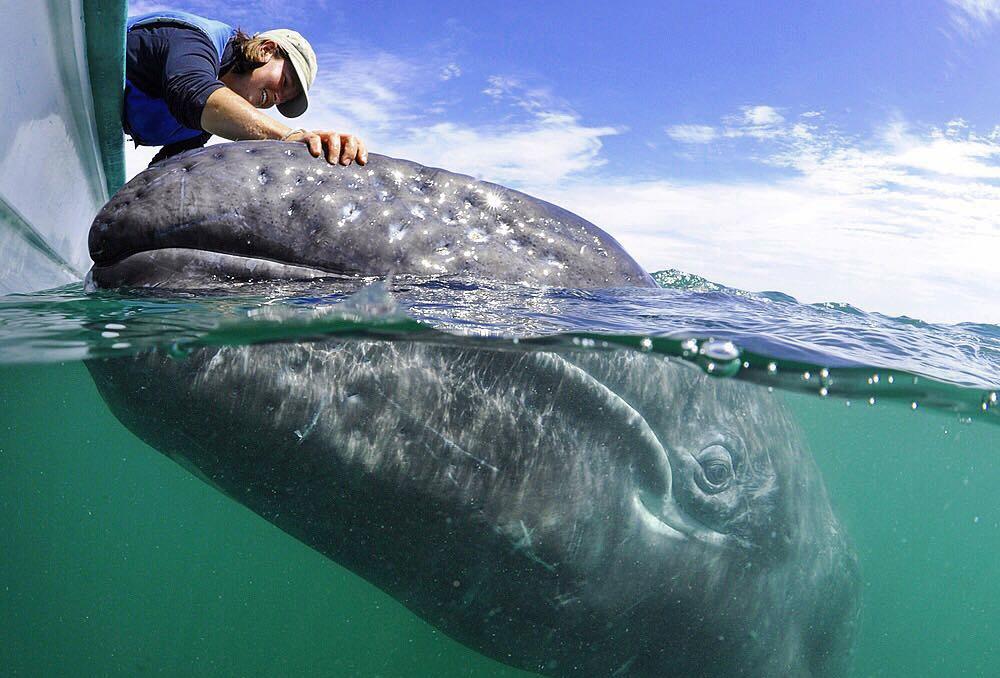 Ballena azul en Chile esquiva cientos de barcos al alimentarse.