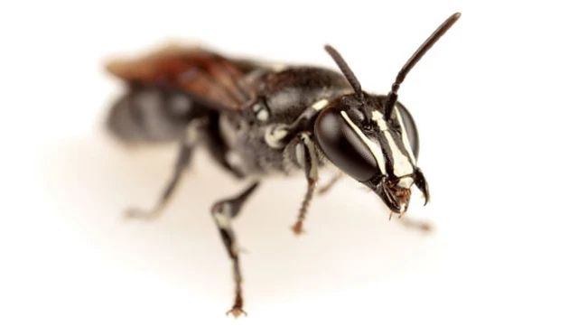 Rara abeja australiana es redescubierta después de casi un siglo.