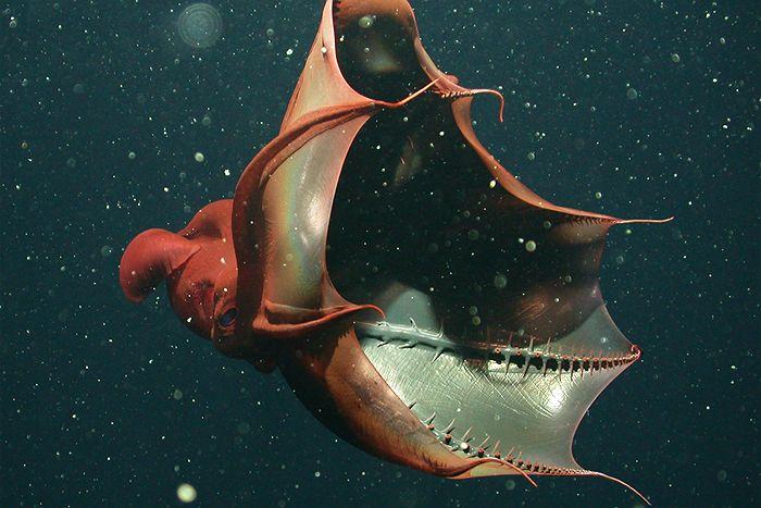 Ancestro del calamar vampiro en abrazo eterno con su cena.