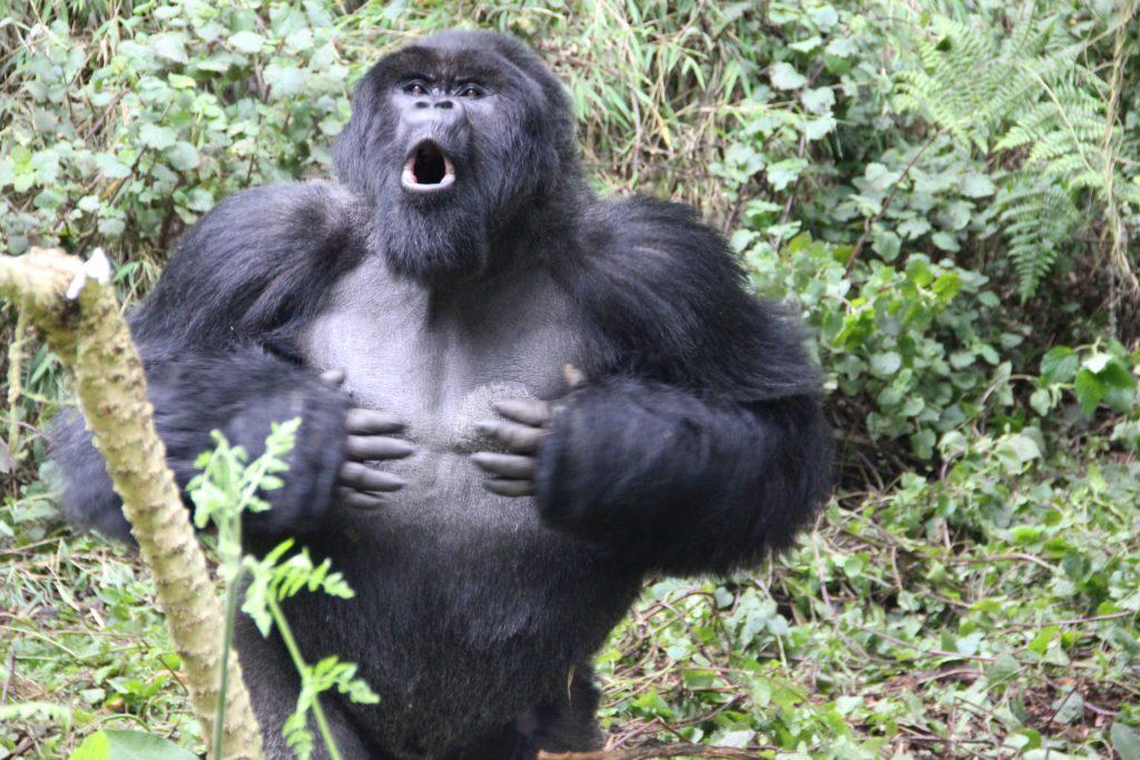 Gorilas: ¿Por qué los machos se golpean el pecho?