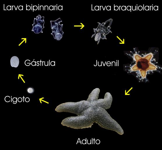 Crías de estrellas de mar son caníbales ¡Sorprendió a los científicos!