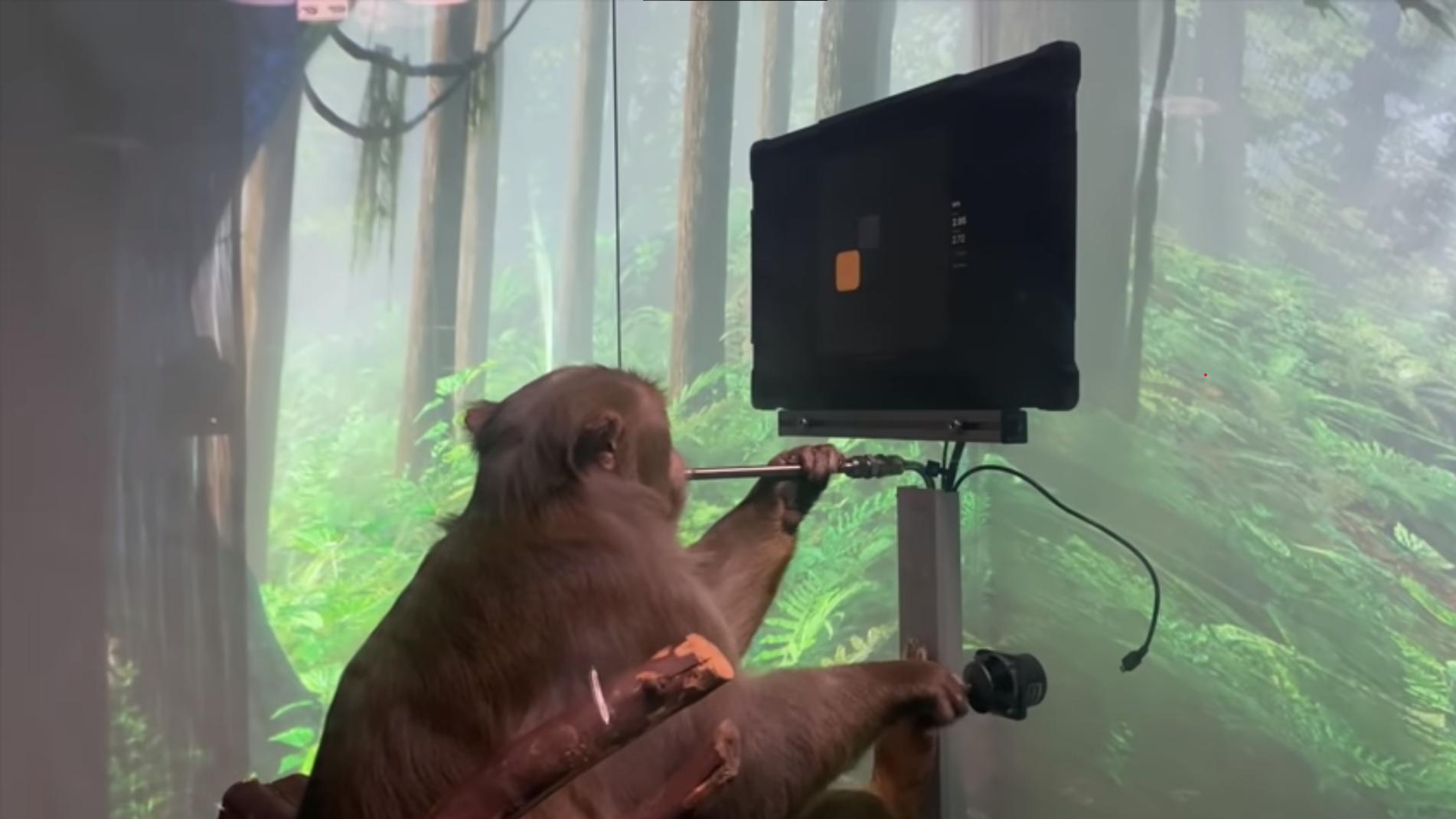 Neuralink: mono juega un videojuego con el pensamiento (video).