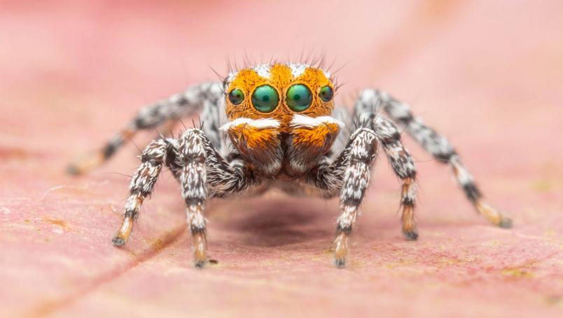 Esta nueva araña pavo real es llamada Maratus nemo. Se le encontró en los humedales del sur de Australia.