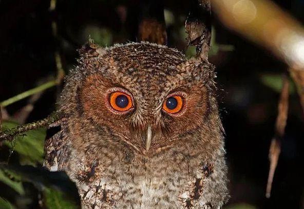 Búho asiático de ojos naranjas que se creía extinto es hallado.