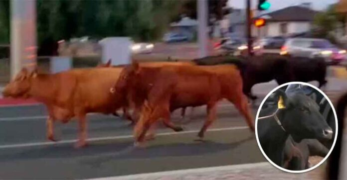 40 vacas