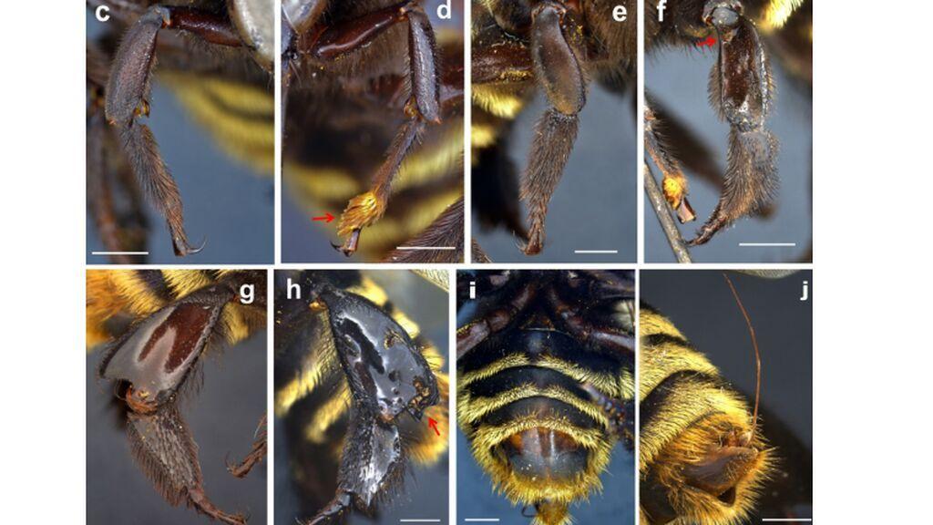 abeja andrógina