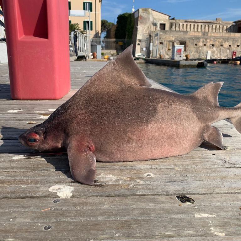 La extraña criatura con cara de cerdo y cuerpo de tiburón estaba flotando antes de sacarla del océano.